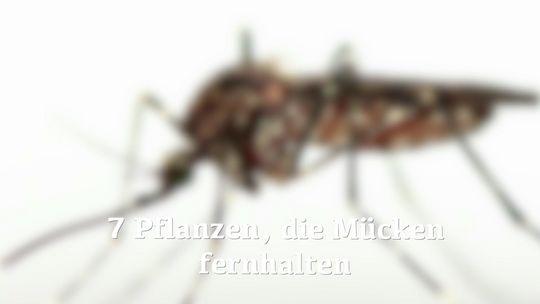 8 Pflanzen, die Mücken fernhalten | Wunderweib